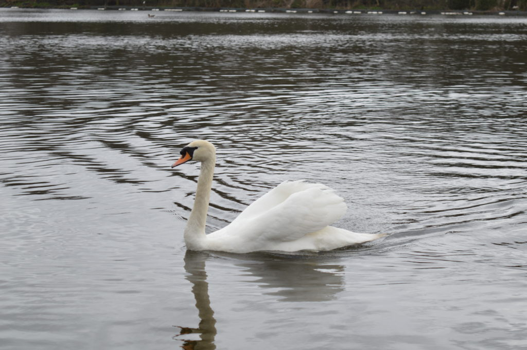 Swan at Hyde Park in winter